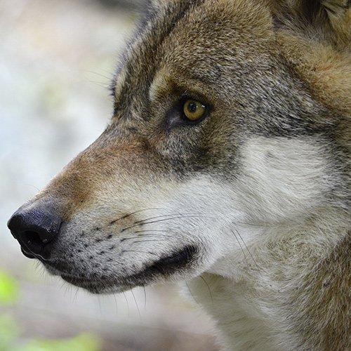 Le plan loup tourne au massacre, l'ASPAS demande en urgence l'arrêt des tirs - ASPAS : Association pour la Protection des Animaux Sauvages