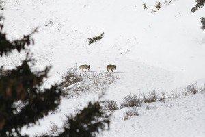 Le loup : conservation et protection | FERUS