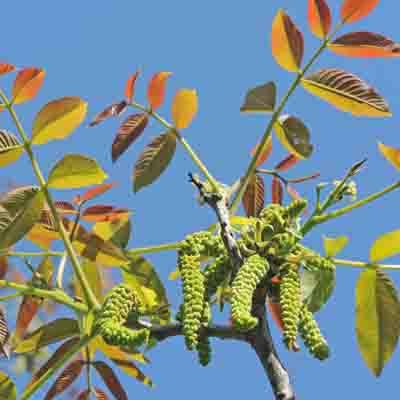 L'ordre des arbres à chatons | Zoom Nature