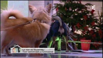 Vidéo - Comment ça va bien ! - Comment ça va bien !Stop aux préjugés sur le chihuahua ! - 03-12-2013