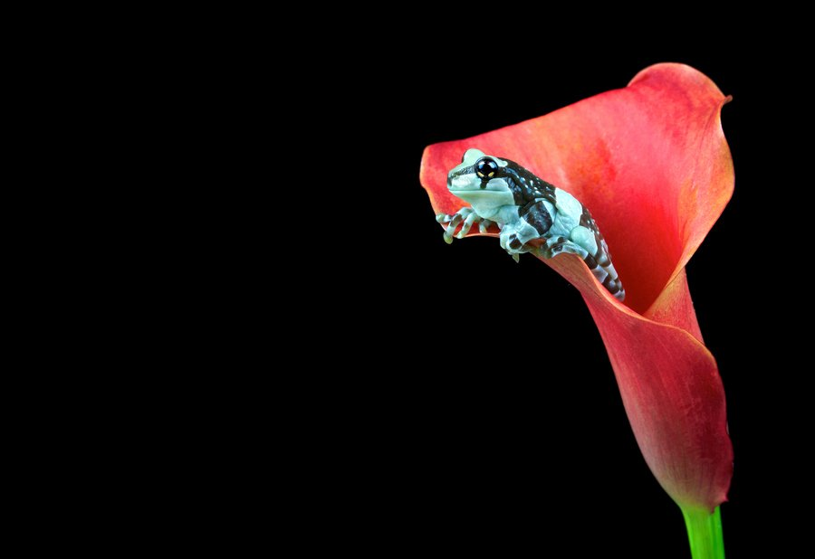 Frog in Flower - Schoolanduniversity.com