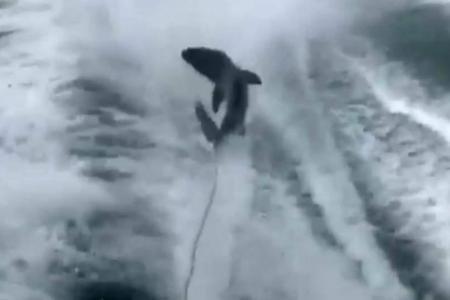Un requin accroché vivant à un bateau qui fonce à toute vitesse