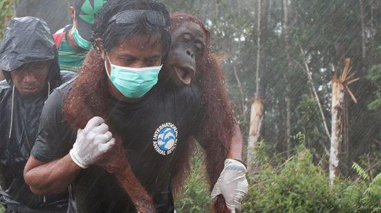 Pétition - L'orang-outan, victime durable de l'huile de palme - Sauvons la Forêt