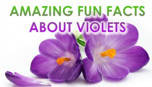 Interesting Facts about Violets
