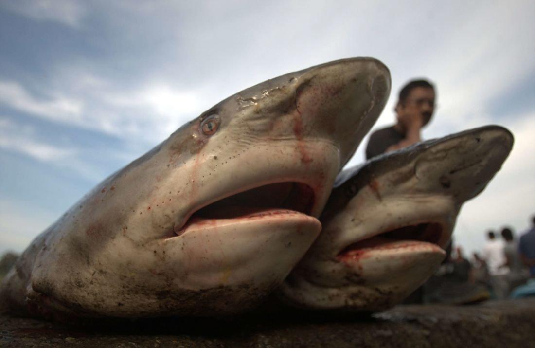 Le génocide silencieux des requins · Paris Match.be