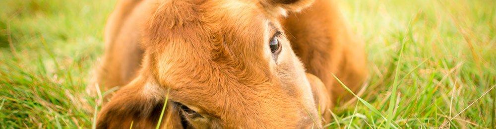Vegan pour les animaux - Vegan Pratique