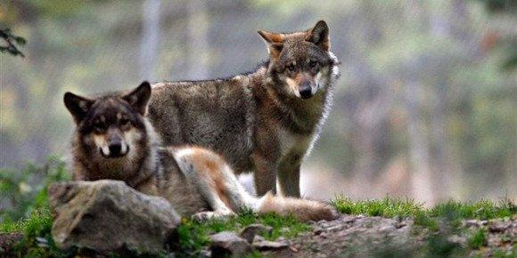 Bergers en colère: faut-il abattre les loups?    VOTEZ  NON     merci  pour nos loups  !!!!!!!!!!!!!!!!!!!
