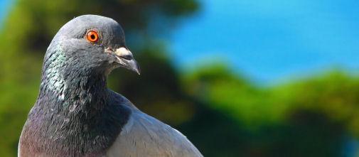 1.613 pigeons belges coffrés aux douanes chinoises - Express