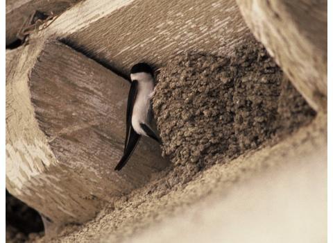 Nature, Franche-Comté : Ne détruisez pas les nids d'hirondelles et de martinets ! actualité Besançon Franche-Comté