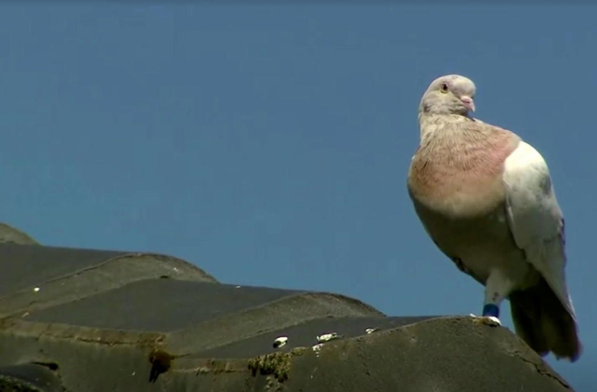 Australie : le pigeon voyageur «américain» pourrait échapper à la mort grâce à sa fausse bague