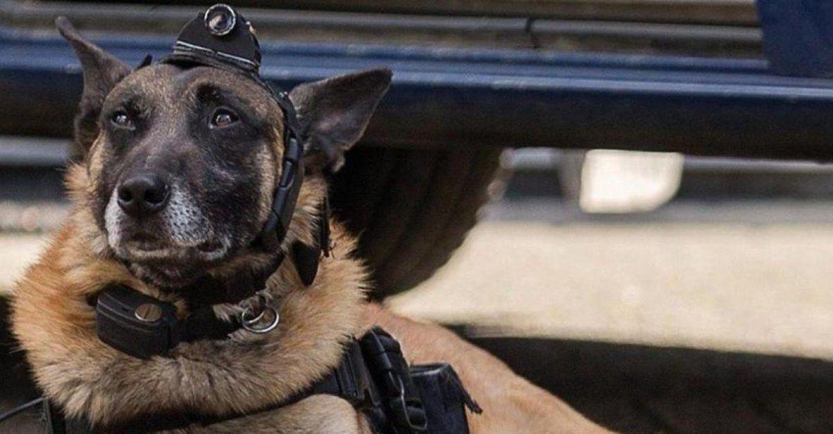 Fusillades à Forest : un chien policier envoyé en éclaireur accueilli par les Belges en héro