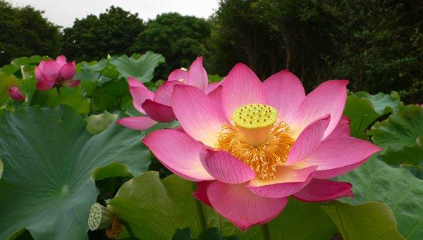 Le lotus, de la spiritualité à l'hypertechnologie