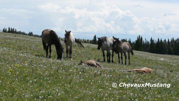 Leurs origines - Chevaux Mustang