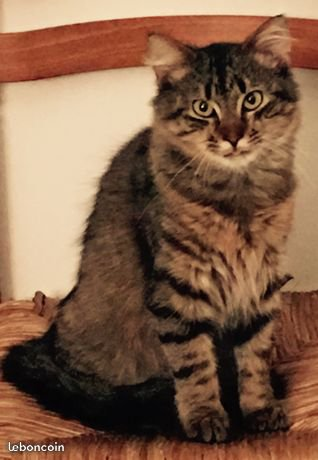 M?le Maine Coon Animaux Gironde - leboncoin.fr