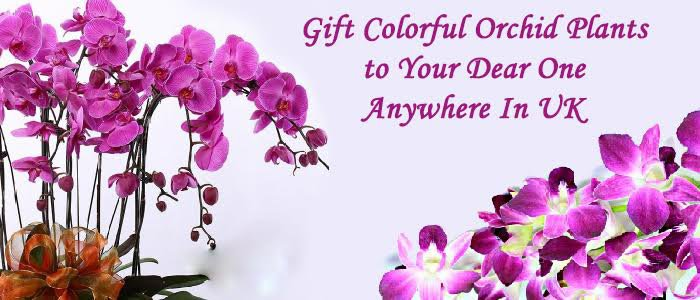 Send Colourful orchids plants to your dear ones