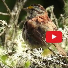 Quels oiseaux entendez-vous dans votre cour, votre parc? (vidéo, 19 oiseaux)