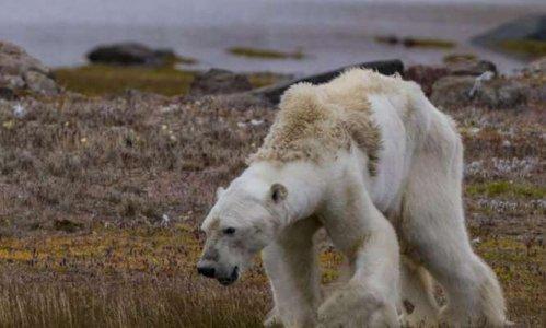 Pétition : Cet ours polaire, mourant, est devenu le triste symbole du réchauffement climatique
