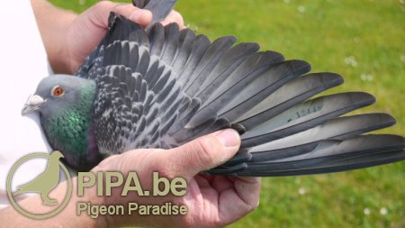 Victoire nationale Barcelona 2013 pour Thierry Hardy (Busigny, FR) | Pigeon Paradise