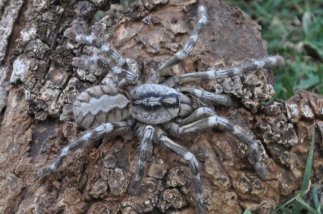 En image : une mygale géante découverte au Sri Lanka