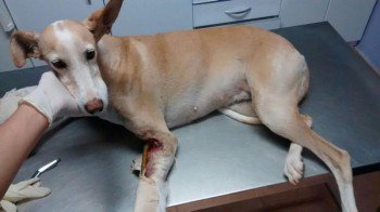 ACTU Animaux - Laurel, podenca fracture ouverte, urgence vétérinaire 6 novembre