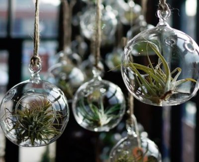 Air Plants: Why is it great to have them in your home