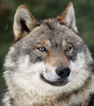 Une récente étude montre que la réhabilitation du loup gris a énormément profité à la végétation du Parc national de...