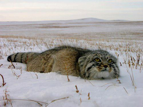 The Manul