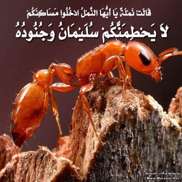 قصص وعبر: (وَلَا يَحِيقُ الْمَكْرُ السَّيِّئُ إِلَّا بِأَهْلِه) رجل أسلم على يد نملة