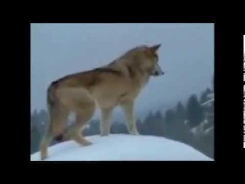 Nos meilleurs amis les loups