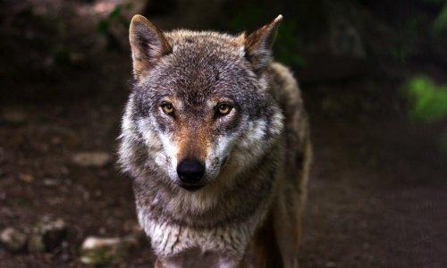 Pétition : Stop au massacre des loups