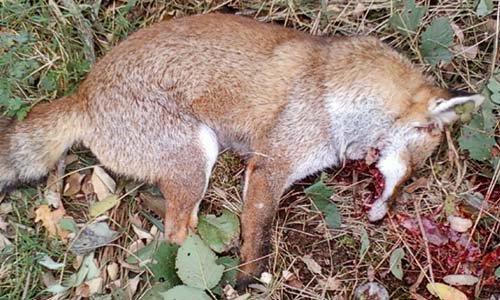 Pétition : Soutien aux loups des Abruzzes