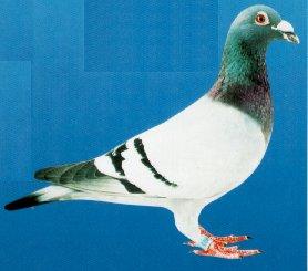 les championnats et as pigeon 2018 sont sortis