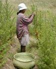 ACP - Artemisia contre paludisme - L'association