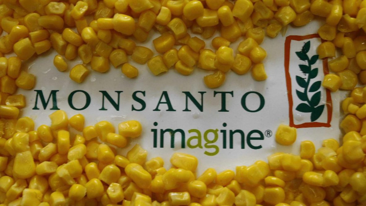 Le Conseil d'Etat annule l'interdiction du maïs OGM MON810 de Monsanto