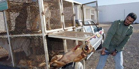 Cliquez pour Empêchor le Maroc d'exterminer ses chiens!