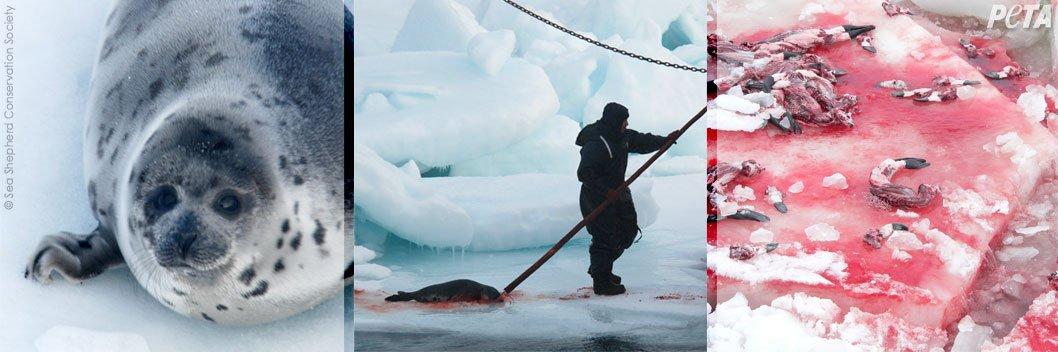 Aidez à sauver les phoques du massacre !