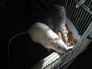Le p'etit forum des rat's .