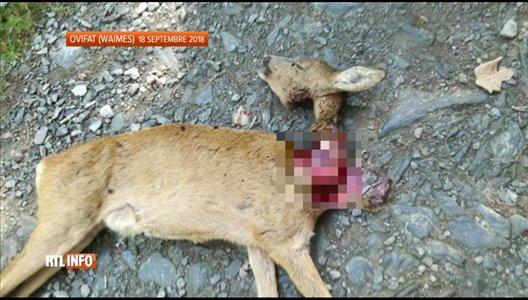 Le loup a-t-il fait une victime en Hautes Fagnes ?