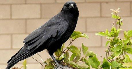 En menant une nouvelle étude, des scientifiques ont découvert que les corbeaux gardent en mémoire les personnes qui...