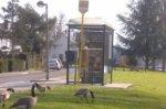 Namur: Vers une « régulation » de l'invasive oie bernache - L'Avenir