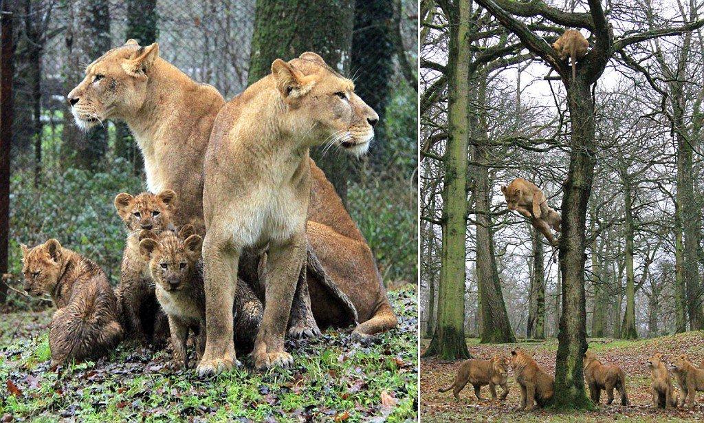 UNE FAMILLE DE LIONS, LES PARENTS ET LEURS QUATRE PETITS TUÉS DANS LE ZOO de Longleat (Royaume-Uni)