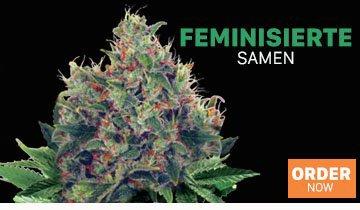 Cannabis Samen - Ministry of Cannabis
