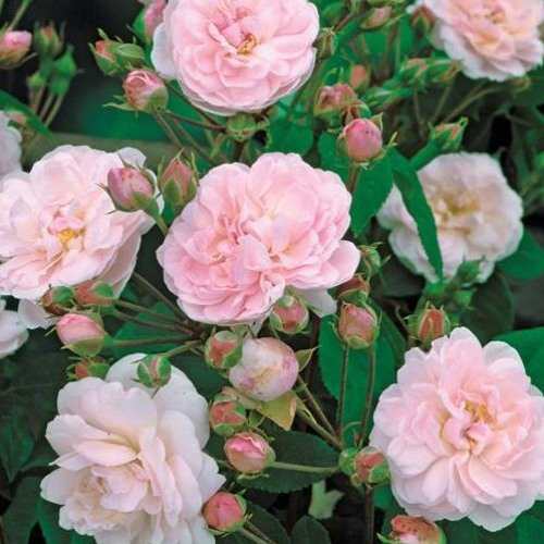 Roses de Chine (Rock)
