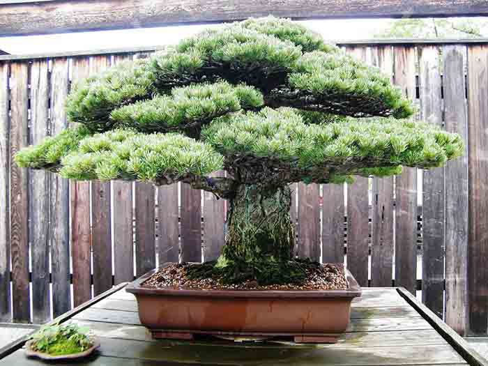 Do you really know Bonsai trees?