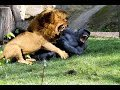 Lion vs lion real fight to death Part 1 - Video at Sercomxat