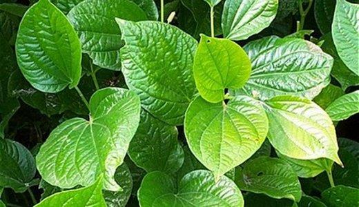Bài thuốc dân gian chữa viêm xoang từ rau cỏ quanh nhà