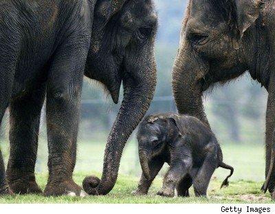 Le Martyre des Elephants Thaïlandais - Le blog de Miyoko