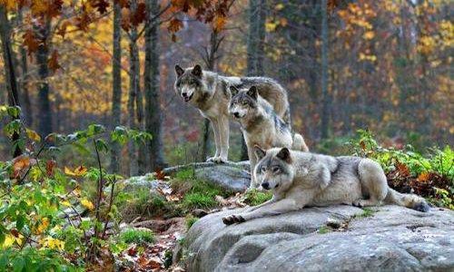 Pétition : Oui aux loups !
