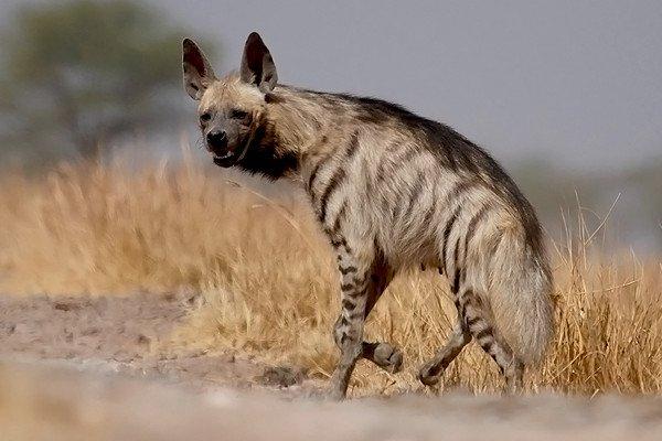 Sorcellerie : l'épouse d'un ancien ministre marocain interpellée alors qu'elle achetait une hyène