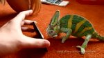 Chameleon was frightened by iphone (what he saw?) très drôle xD